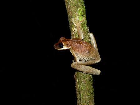 Treefrog encountered during a nightwalk in the jungle