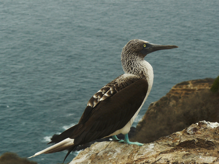 Blue footed booby with the ocean as background, this is one of the two species