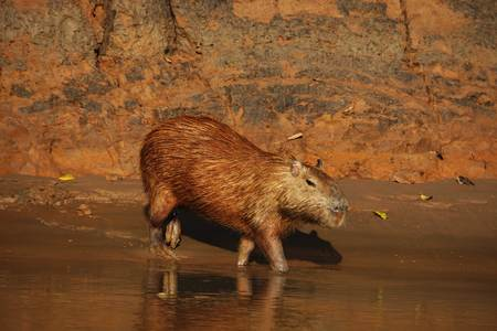 capybara walking in a little stream in the jungle of peru, photo taken during a tourist tour in the amazone