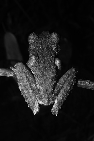 The back of a brown and green tree frog of the genus, Osteocephalus, like moss in black and white