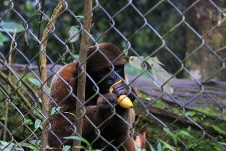 A woolly monkey kept in captivity eating a banana