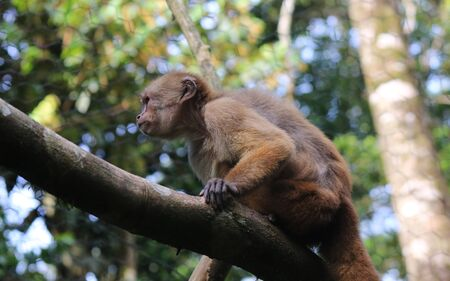 capuchin monkey, cebus albifrons sitting on a large branch in tropical rainforest