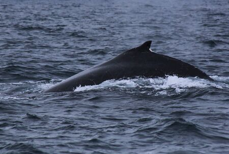 Sideview of the back from a male humpback whale, megaptera novaeangliae, with many scars visible