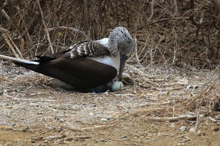 A blue footed booby, Sula nebouxii, sitting on his nest with one egg and one chick