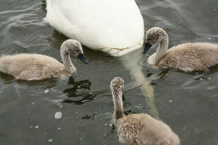 Three young swans waiting until the mom surfaces again with food Stock fotó