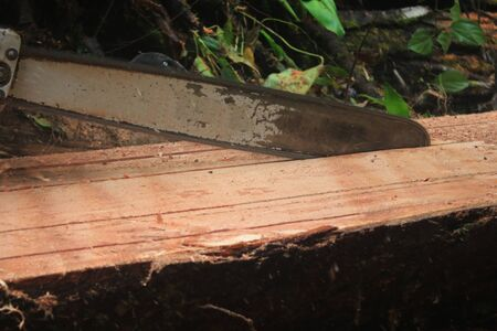A view of a tree trunk being cut illegaly in even pieces with a running chainsaw