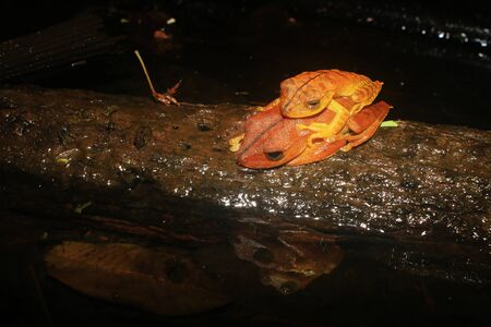 Two brown frogs sleeping on top of eachother and mirrored in the water