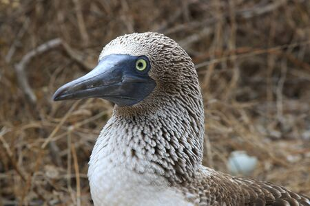 Close up of a blue footed booby showing the feathers in detail