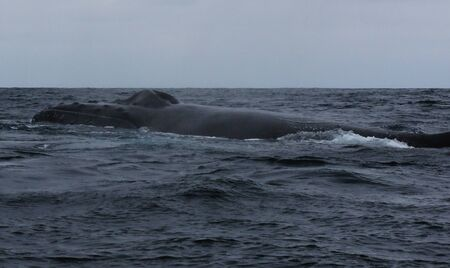 The black back and dorsal fin and blowhole of humpback whale, megaptera novaeangliae