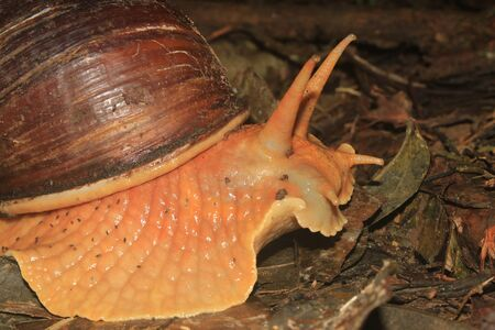 Sideview of an Amazonian Giant Snail, Megalobulimus popelairianus, Strophocheilidae