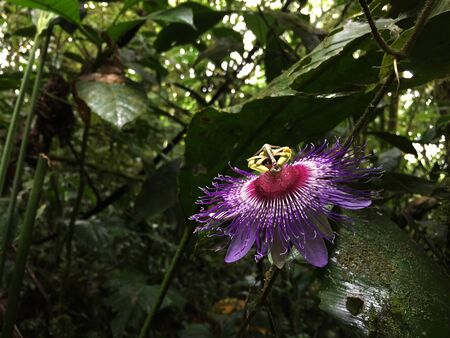 A purple and white passion flower found in the middle of the jungle Banque d'images