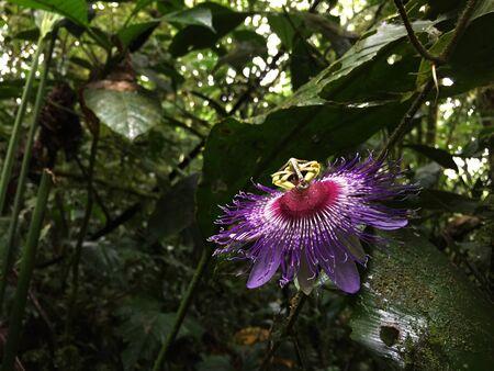 Une passiflore violette et blanche trouvée au milieu de la jungle
