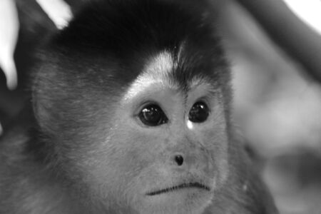 A close up of the head from a sad looking capuchin monkey, cebus albifrons in black and white