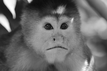Close up of the head from a suprised capuchin monkey, cebus albifrons in black and white