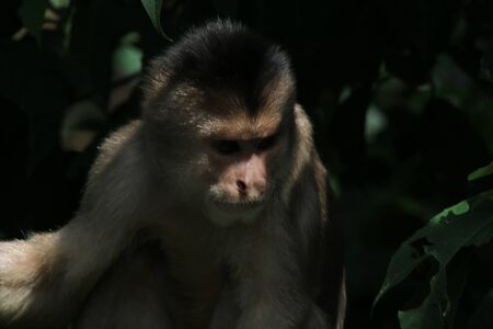 A wild capuchin monky, Cebus albifrons, looking down at tourists taking pictures 写真素材