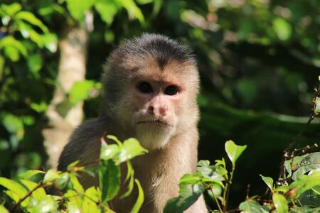 A Close up of a wild capuchin monky, Cebus albifrons,looking straight at the camera without emotions 写真素材