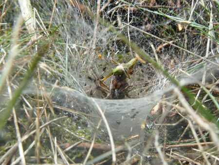 A funnel web spider eating a grasshopper that got stuck in his web