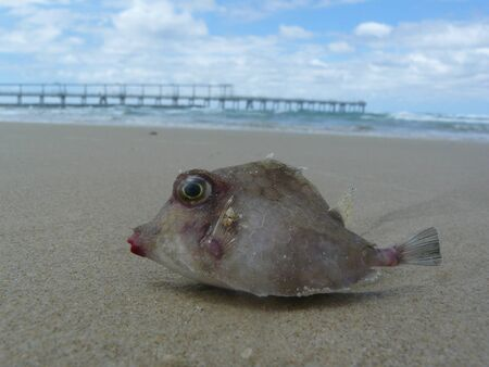 Dead, washed up pufferfish found on the beach in Australia