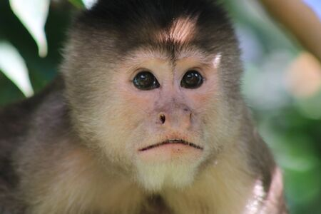 A close up of the head from a suprised capuchin monkey, cebus albifrons