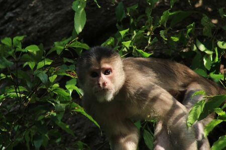 Wild capuchin monky, Cebus albifrons, looking straight at the camera 写真素材