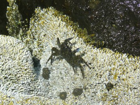 Dark green crab with blue claws walking over white barnacles
