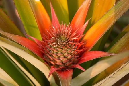 little pineapple in farm Reklamní fotografie