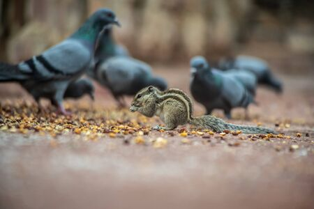 Squirrels and pigeons eat together  in jaipur Imagens