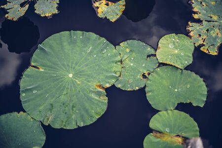 green leaf lotus in lotus pond reflect sky 免版税图像