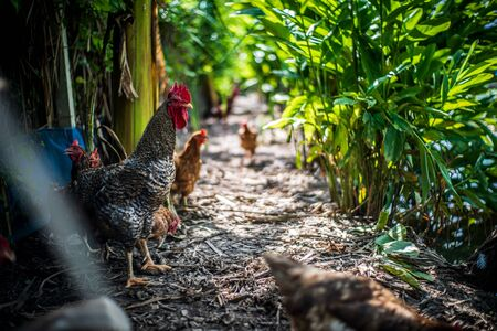 the rural Chicken farming in the villagers