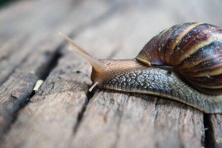Olbrzymi afrykański ślimak lądowy na drewnianej podłodze