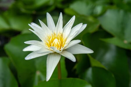 Lily white Lotus Flower in the Water