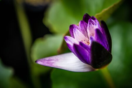 Lily Purple Lotus Flower in the Water