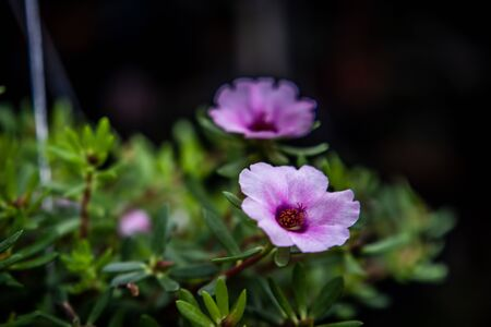 Portulaca a colorful blossom in the garden 免版税图像