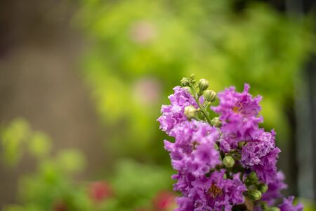 pink Purple crape myrtle in the garden 免版税图像