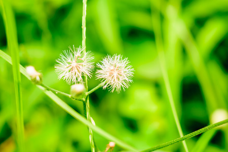 The grass grew along breed Two flower seeds taper end grain brown fluffy. Thin white line unfolded like an umbrella when the wind is blown off by the wind. Fall and grow further.