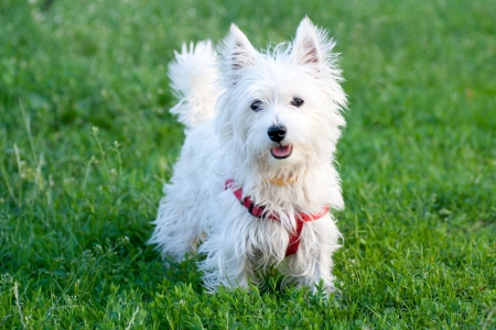 White dog on a green grass background photo