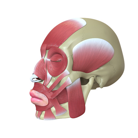 eye sockets: Rendered human head with muscles