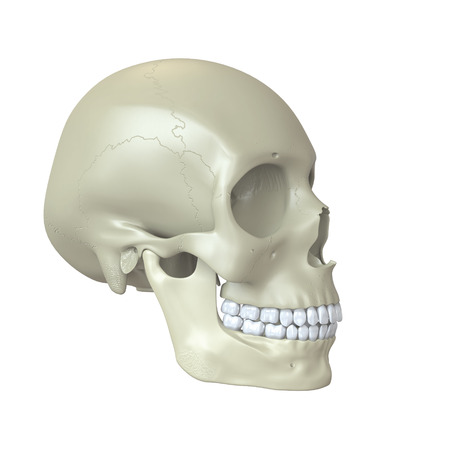 Rendered human skull photo