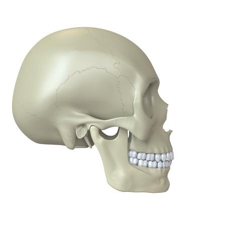 Rendered human skull photo
