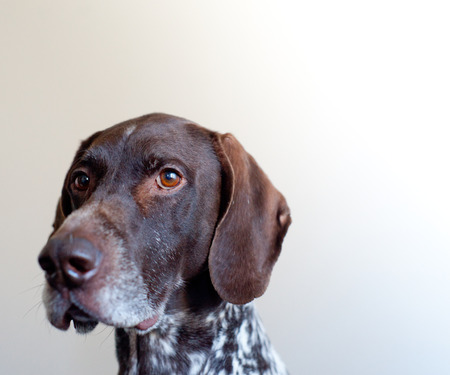 shorthaired: German Shorthaired Pointer Stock Photo