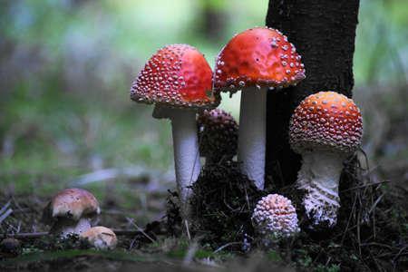 mushrooms in the woods, Amanita muscaria + Boletus edulis
