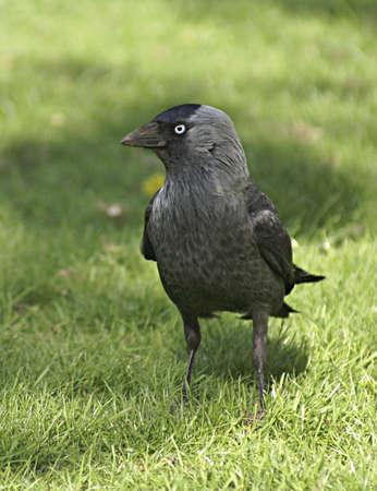 jackdaw bird in the grass        photo