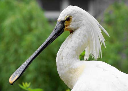 bird-Platalea leucorodia 2