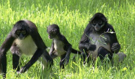 Gibbons Family Stock Photo