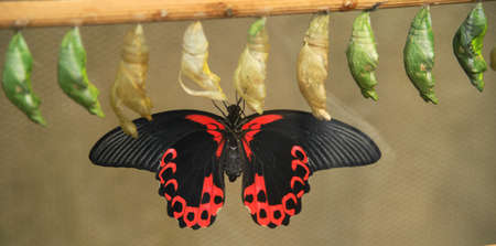pupae: Butterfly from pupa