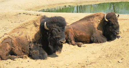 American Bison (Bison bison) is the national animal, the largest mammal of the American continent.