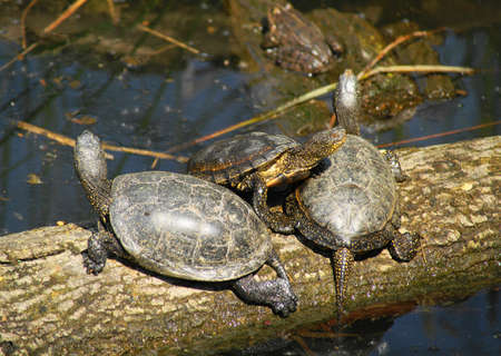 emys: Pond turtle (Emys orbicularis) is the only free-floating turtle (naturally) in Central Europe