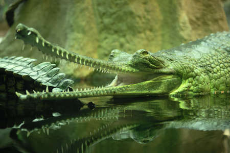 reptilia: Gavial Indian (Gavialis gangeticus) is a critically endangered species of crocodile living in India, where it is considered a sacred animal.