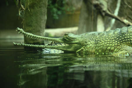 Gavial Indian (Gavialis gangeticus) is a critically endangered species of crocodile living in India, where it is considered a sacred animal.