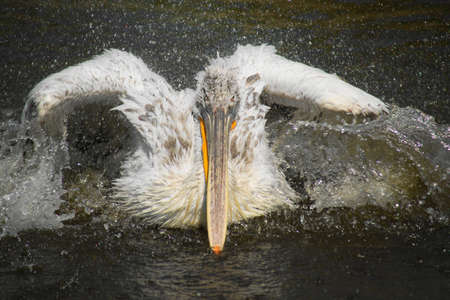 Great White Pelican is a frequent and popular visitor attraction in zoos around the world. photo